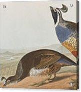 California Partridge Acrylic Print