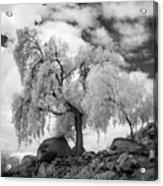 California Pepper Tree Acrylic Print