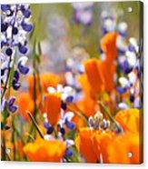 California Poppies And Lupine Acrylic Print