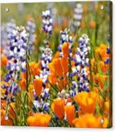 California Poppies And Lupine Wildflowers Acrylic Print