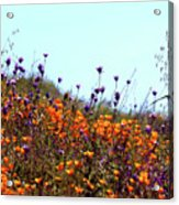 California Poppies And Wildflowers Acrylic Print