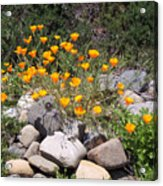 California Poppies Photograph Acrylic Print