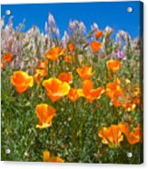 California Poppies, White Grasses And Blue Sky In Windy Antelope Valley Ca Poppy Reserve Acrylic Print