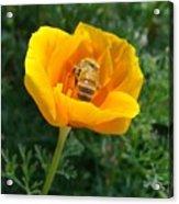 California Poppy And Honey Bee Acrylic Print
