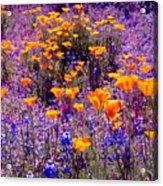 California Poppy And Lupin Acrylic Print