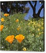 California Poppy Eschscholtzia Acrylic Print