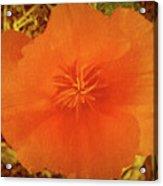 California Poppy Glow Acrylic Print