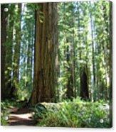 California Redwood Forest Trees Art Prints Acrylic Print