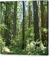 California Redwood Trees Forest Art Prints Acrylic Print