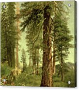 California Redwoods Acrylic Print by Albert Bierstadt