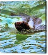 California Sea Lion-1611 Acrylic Print