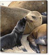 California Sea Lion And Newborn Pup San Acrylic Print by Suzi Eszterhas