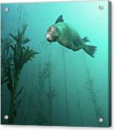 California Sea Lion In Kelp Acrylic Print