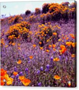 California State Flower Study Acrylic Print