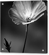 Californian Poppy Acrylic Print