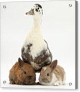 Call Duck And Baby Netherland Acrylic Print