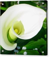 Calla Beauty Acrylic Print