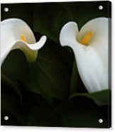 Calla Duo Acrylic Print