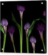 Calla Lilies Acrylic Print by Marlene Ford