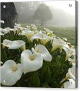 Calla Lilies Zantedeschia Aethiopica Acrylic Print by Keenpress