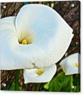 Calla Lily At Carmel Mission-california Acrylic Print