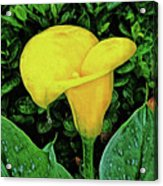 Calla Lily Acrylic Print
