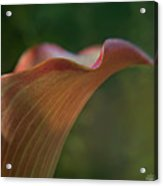 Calla Lily Close-up Acrylic Print