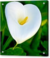 Calla Lily Closeup At Pilgrim Place In Claremont-california Acrylic Print