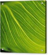 Calla Lily Leaf Acrylic Print