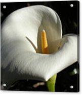 Calla Lily-santa Monica - 2005 Acrylic Print