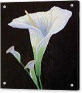 Calla Lily X Acrylic Print