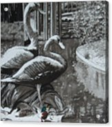 Callaway Mallard Ducks Acrylic Print