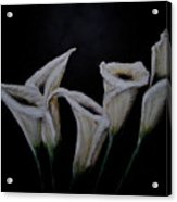 Calli Lillies In The Dark Acrylic Print