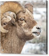Calling All Ewes Acrylic Print