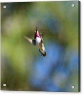 Calliope Hummingbird In Flight Acrylic Print