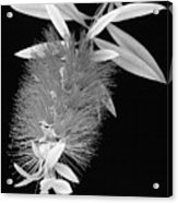 Callistemon Beauty 1 Acrylic Print