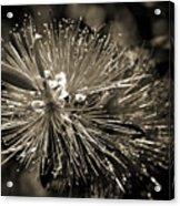 Callistemon II Acrylic Print