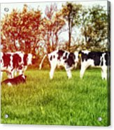 Calves In Spring Field Acrylic Print