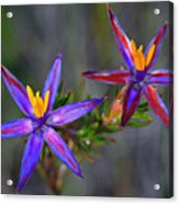 Calytrix 3a -starflower Acrylic Print