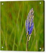 Camas Flower Pod Acrylic Print