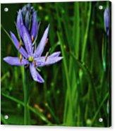 Camas Lily Acrylic Print