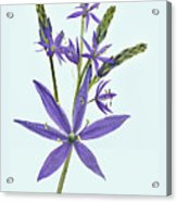 Camas, The Flowers Acrylic Print