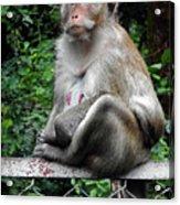 Cambodia Monkeys 3 Acrylic Print