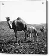 Camel And Young Acrylic Print