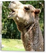 Camel Chewing Acrylic Print