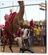 Camel Dance Pushkar Acrylic Print