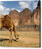 Camel Grazing In A Desert Landscape Acrylic Print by Sami Sarkis