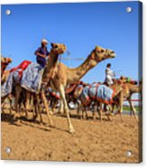 Camel Racing In Dubai Acrylic Print