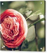 Camellia 3 Acrylic Print
