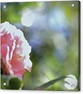 Camellia And Early Light Acrylic Print
